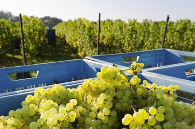 Trasporto, spremitura  e pre-macerazione dell'uva a temperatura controllata